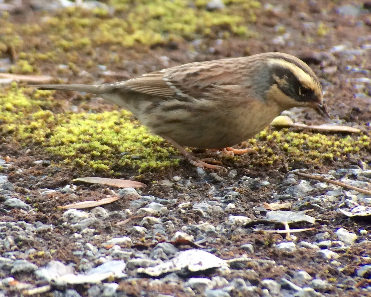 Siberian Accentor Influx