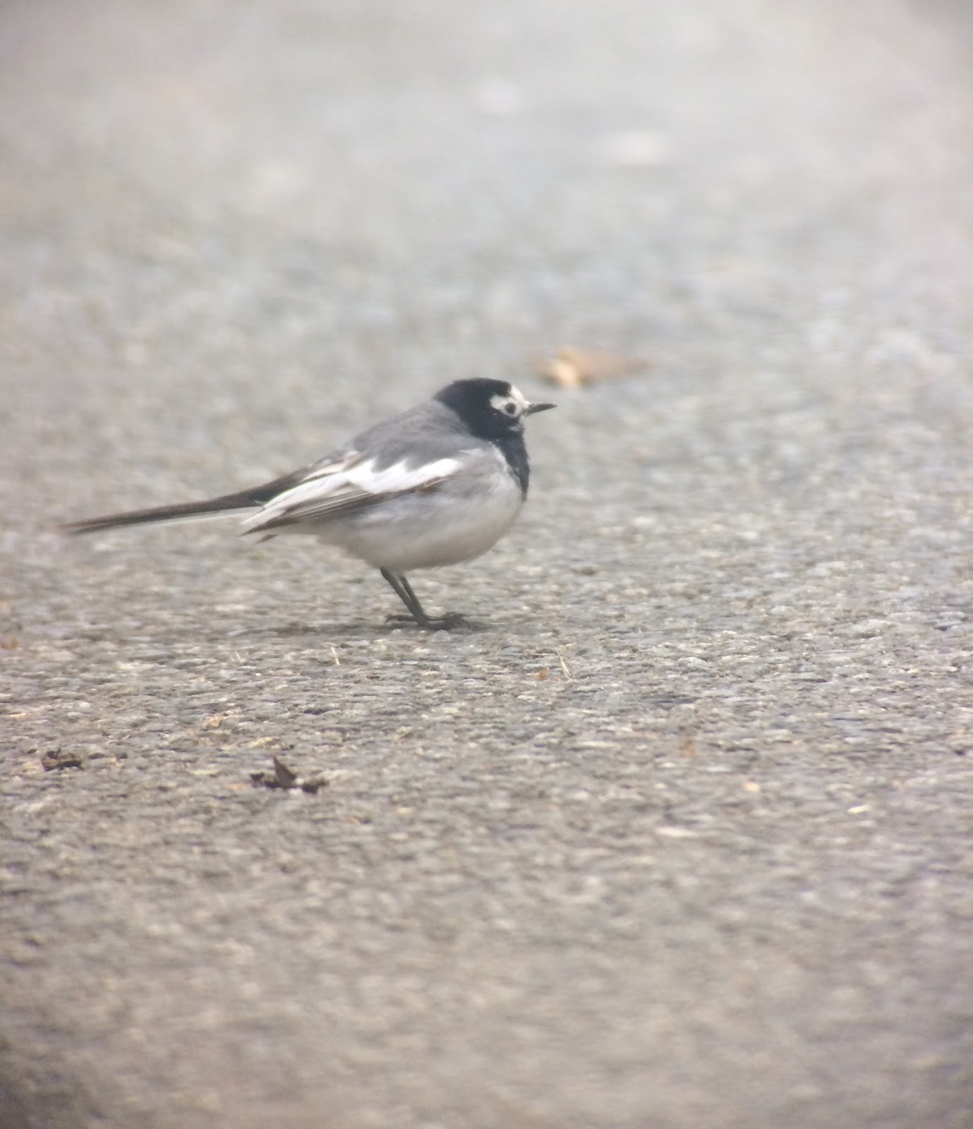 White Wagtail in Pembrokeshire