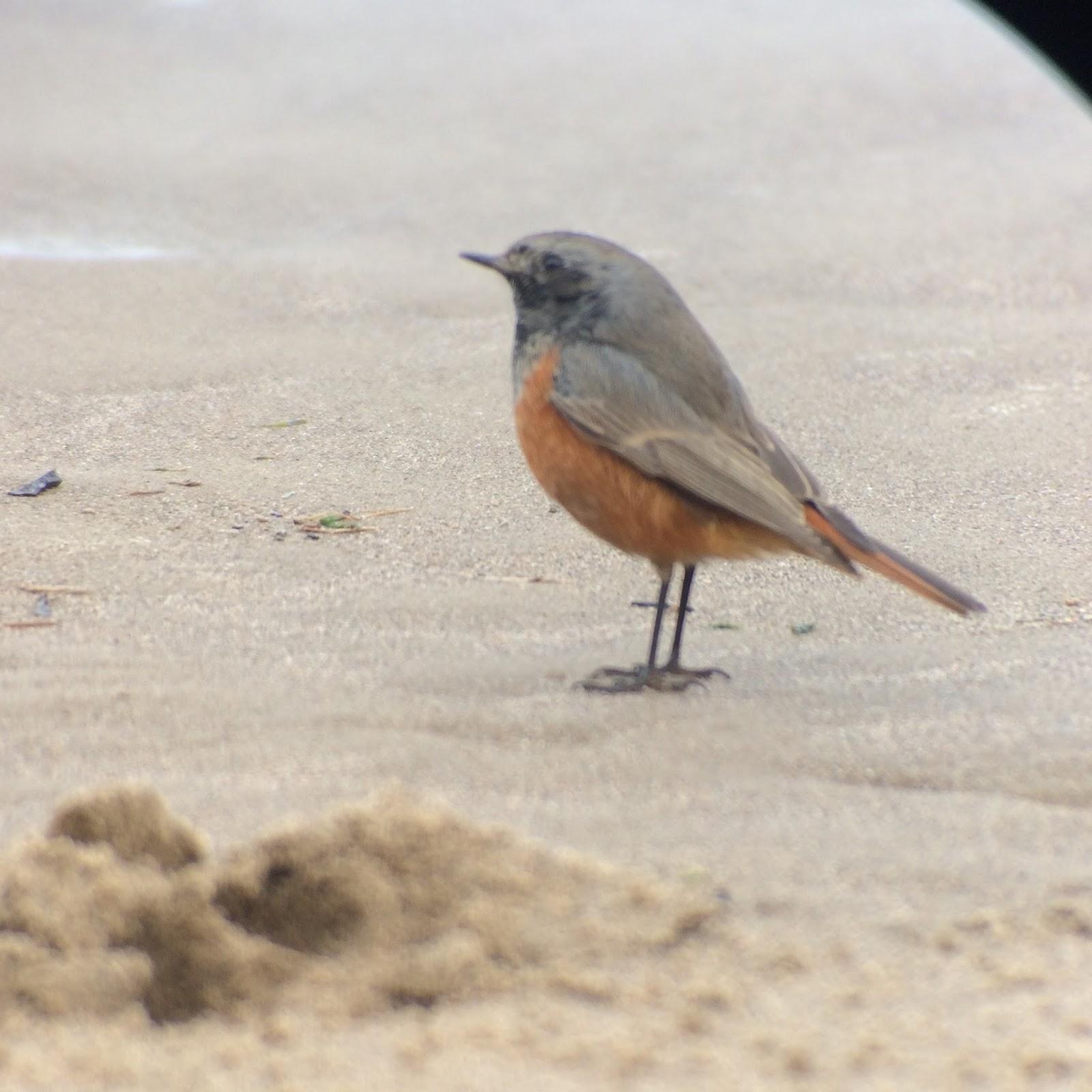 Eastern Black Redstart – A Christmas Twitch