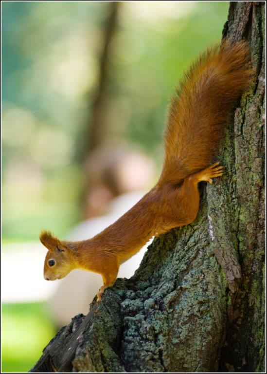 British Red Squirrel – A Guest blog