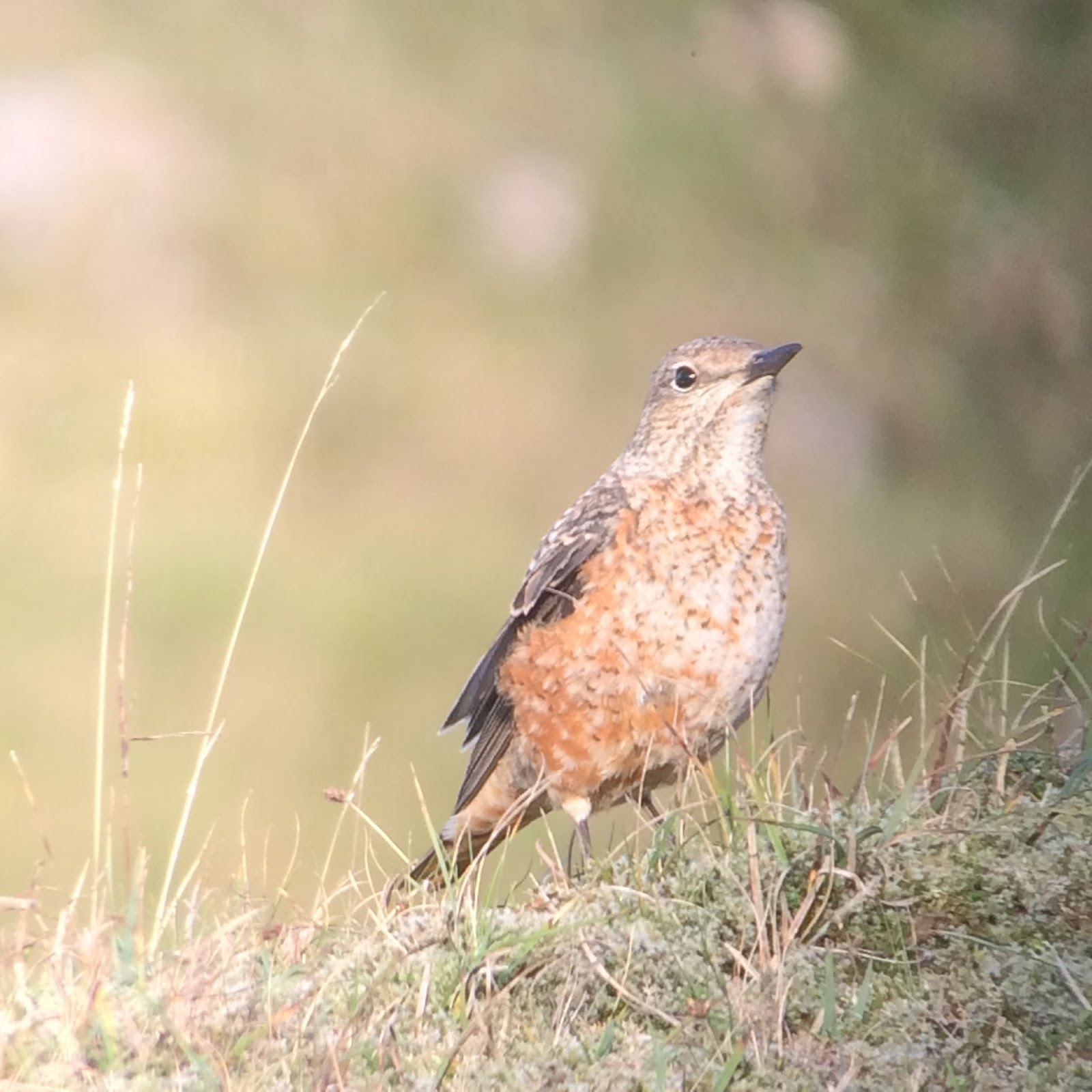 Rufous-tailed Rock Thrush twitch 13 October 2017