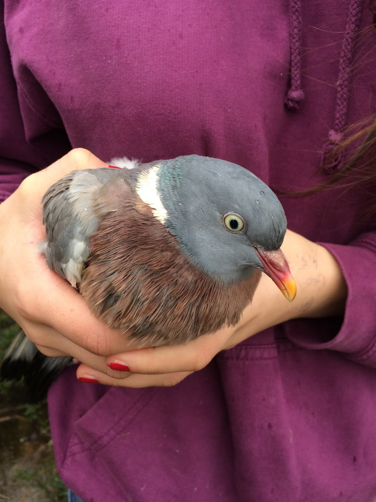 Ringing a Wood Pigeon – my first adult ringed